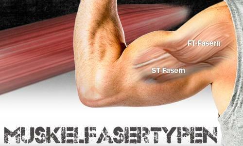 Muskelfasertypen FT-Fasern ST-Fasern