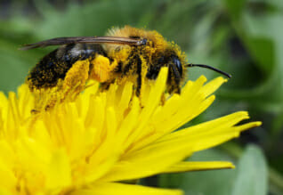 Nahrungsergänzung: Die Wirkung von Bienenpollen