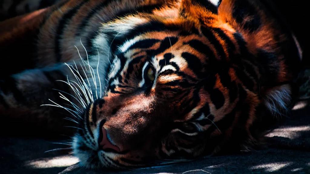 Ruhender Tiger