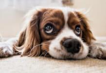 Traurig blickender Hund
