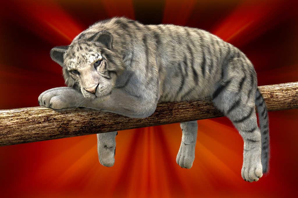Tiger beim Ausruhen